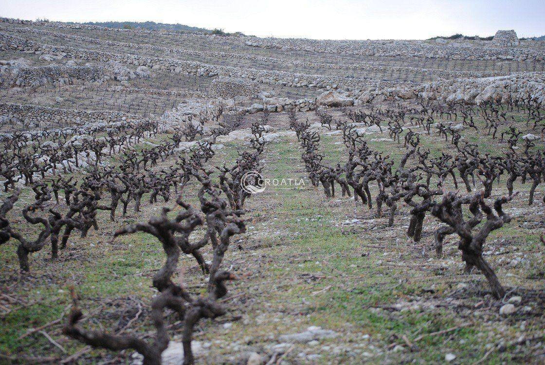 Vine tour in Milos winery